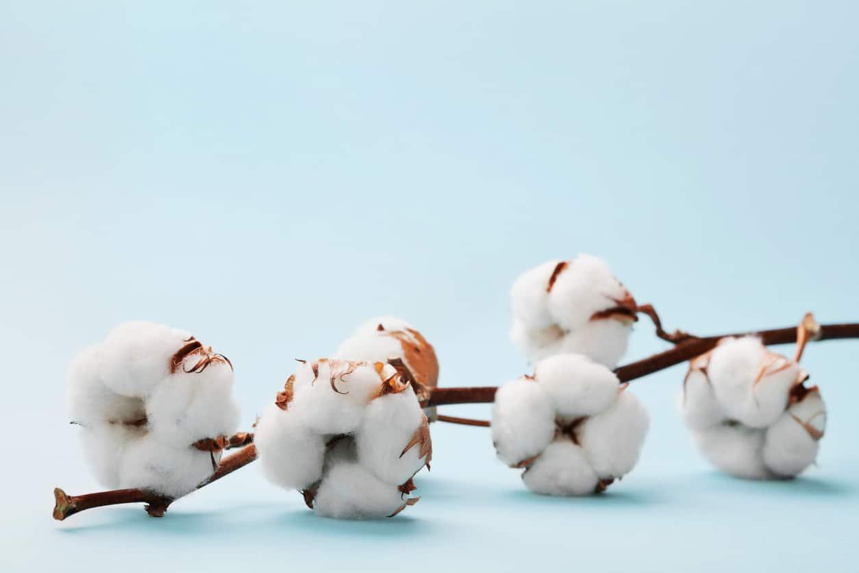 branches de fleurs de coton