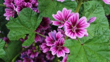 mauve malva sylvestris fleur