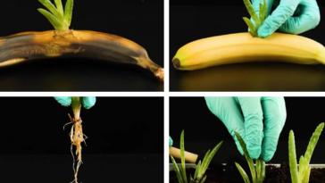 banane greffe bouture potassium jardin