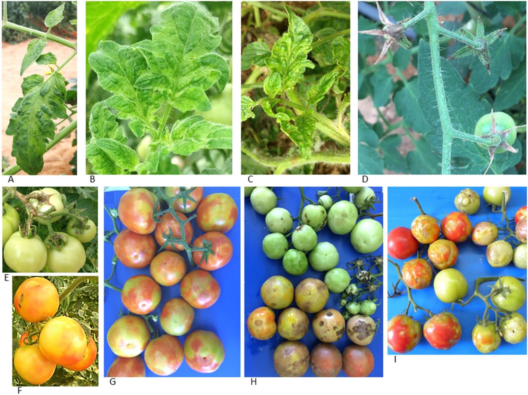ToBRFV maladie virus tomate