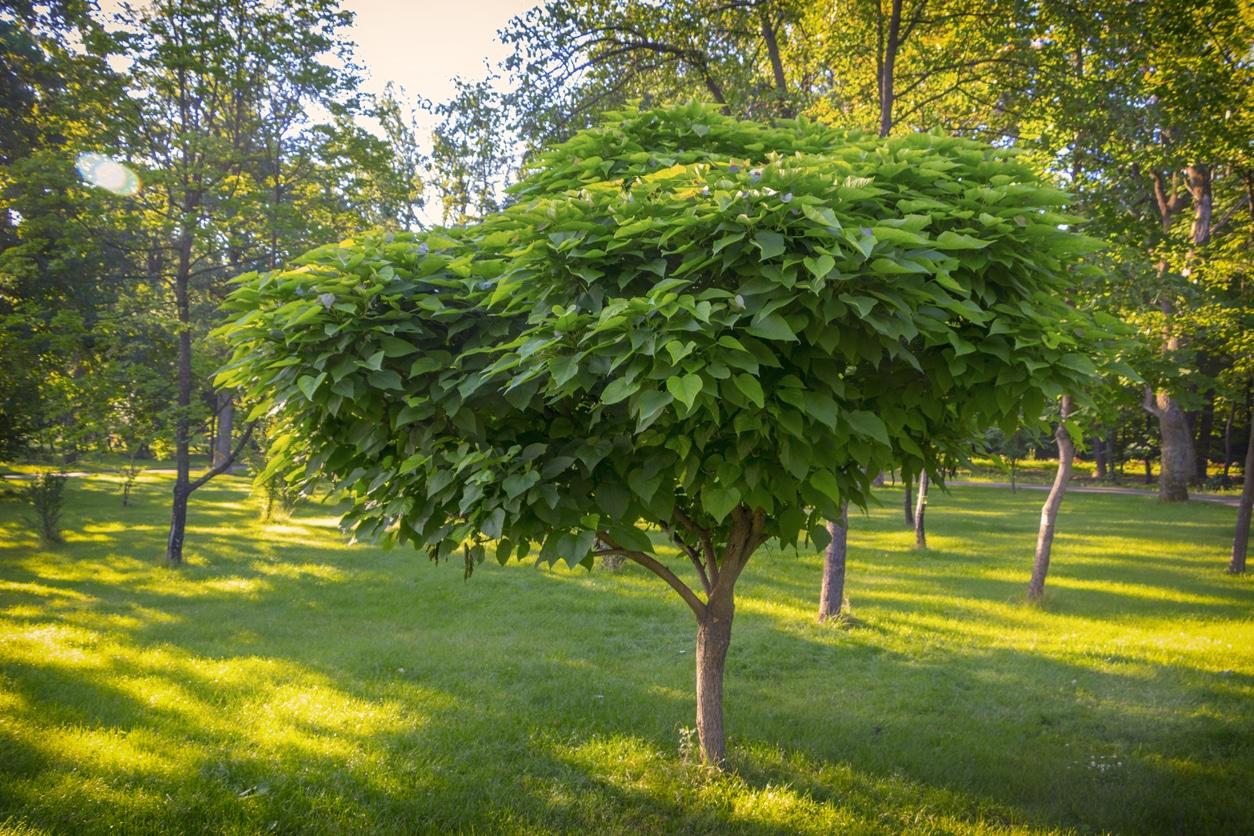 arbre catalpa