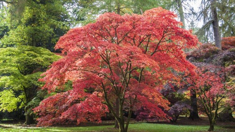 arbre érable du Japon