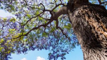 jacaranda arbre violet