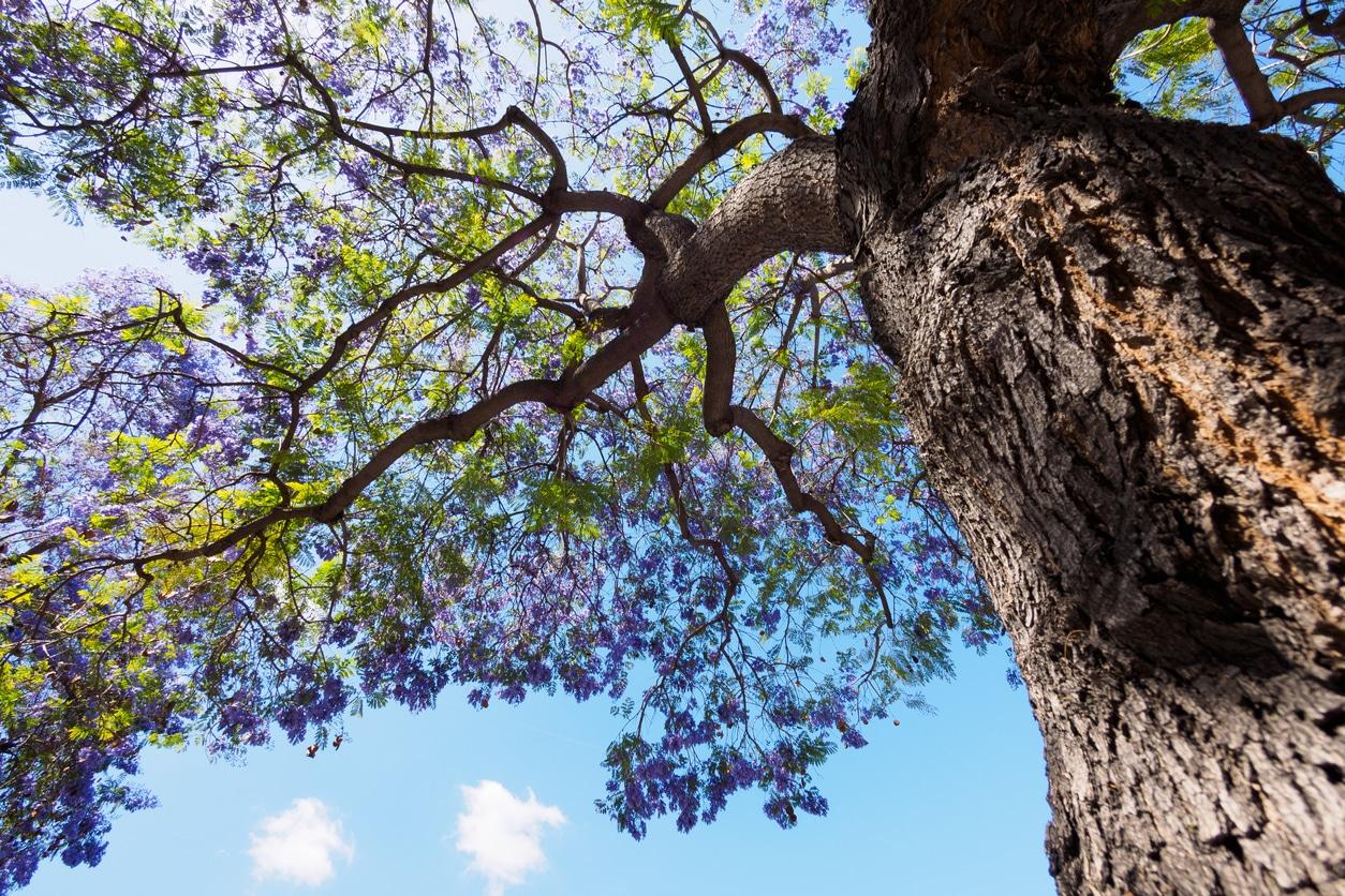 purple tree jacaranda