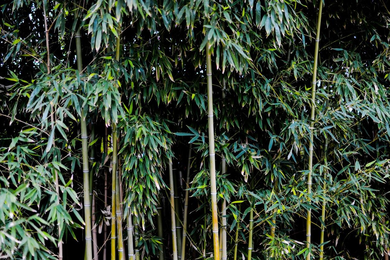 bambou haie
