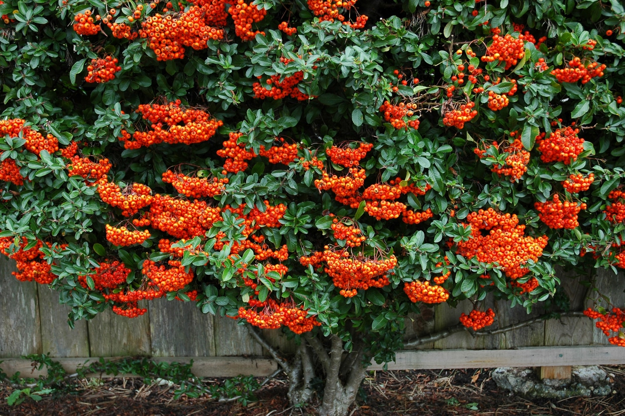 Pyracantha buisson ardent