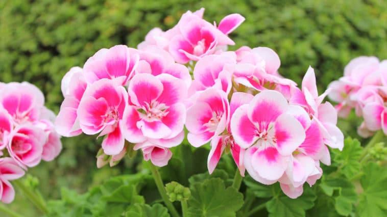 fleur géranium