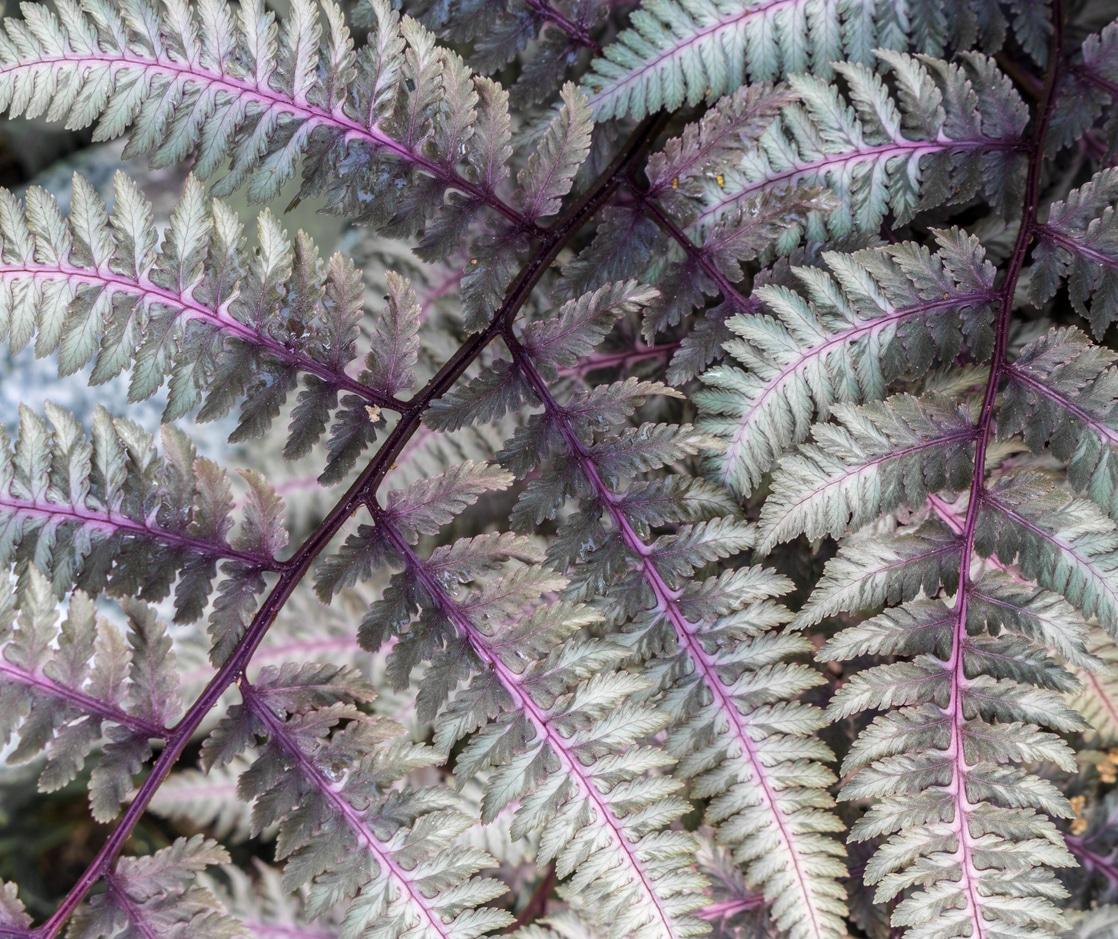 fougere japonaise athyrium niponicum