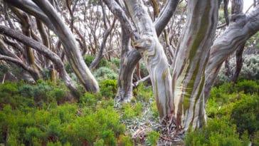 gommier des neiges eucalyptus pauciflora écorce tronc