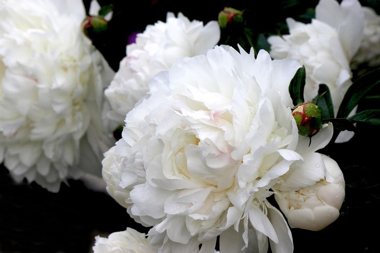 10 des plus jolies fleurs blanches à adopter au jardin