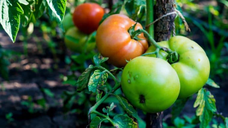 tomates plant maladie