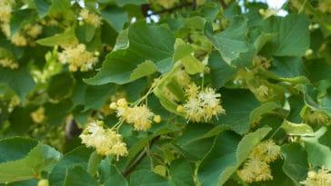 fleur tilleul arbre