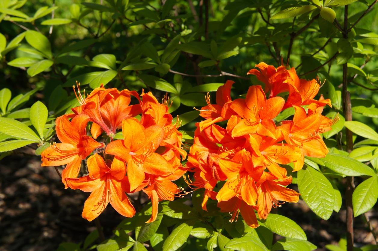 azalee orange