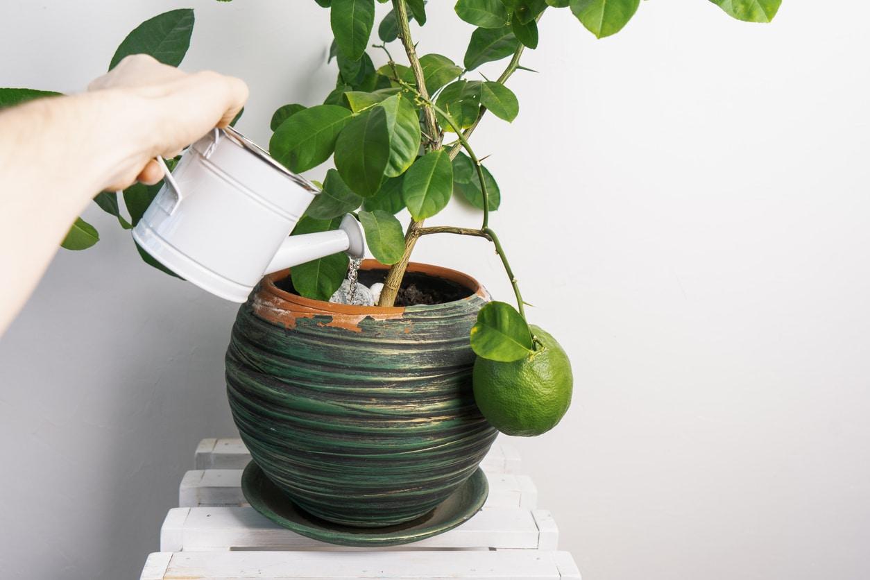 Arbre Fruitier En Pot Interieur comment choisir les fruits à cultiver en pot ?