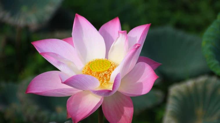 fleur aquatique lotus bassin