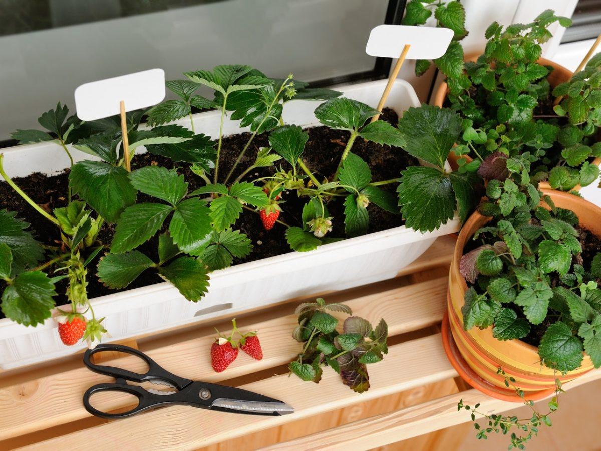 Comment Entretenir Les Fraisiers En Automne comment choisir les fruits à cultiver en pot ?