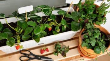 fraisier fraise fruit pot balcon