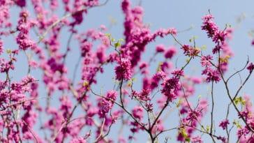 gainier de Chine arbre fleurs roses