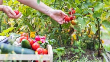 coronavirus jardin tomate