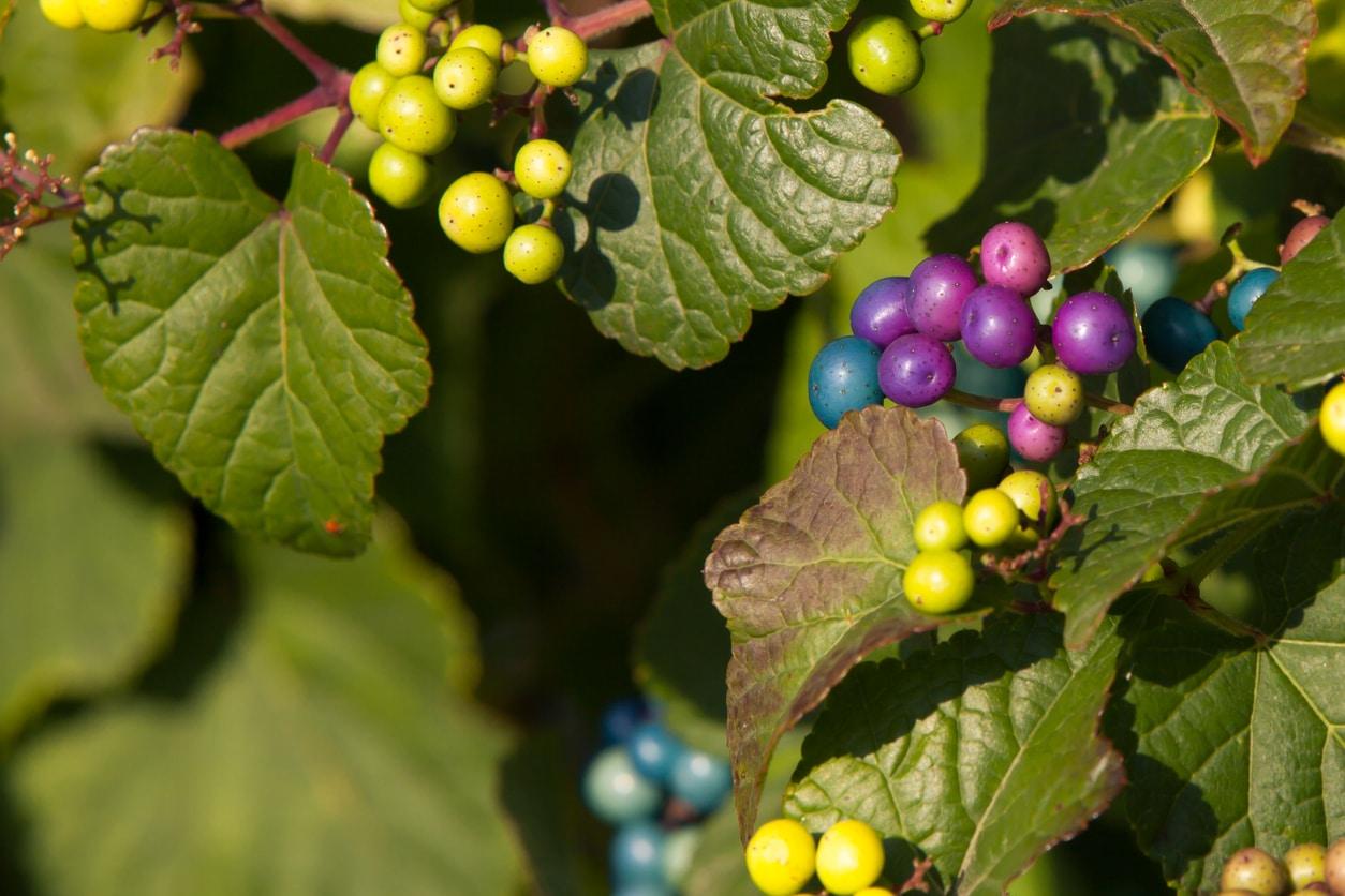 vigne vierge à fruits bleus Ampelopsis brevipedunculata