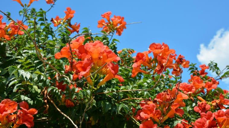 jasmin de Virginie orange