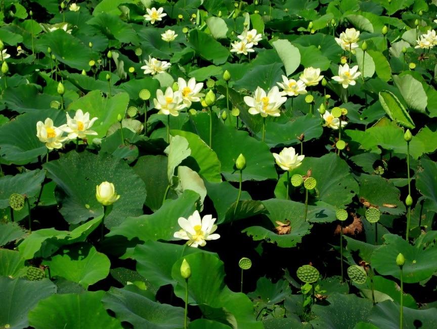 lotus fleur aquatique bassin