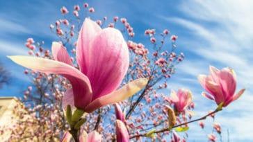 magnolia fleurs arbuste arbre