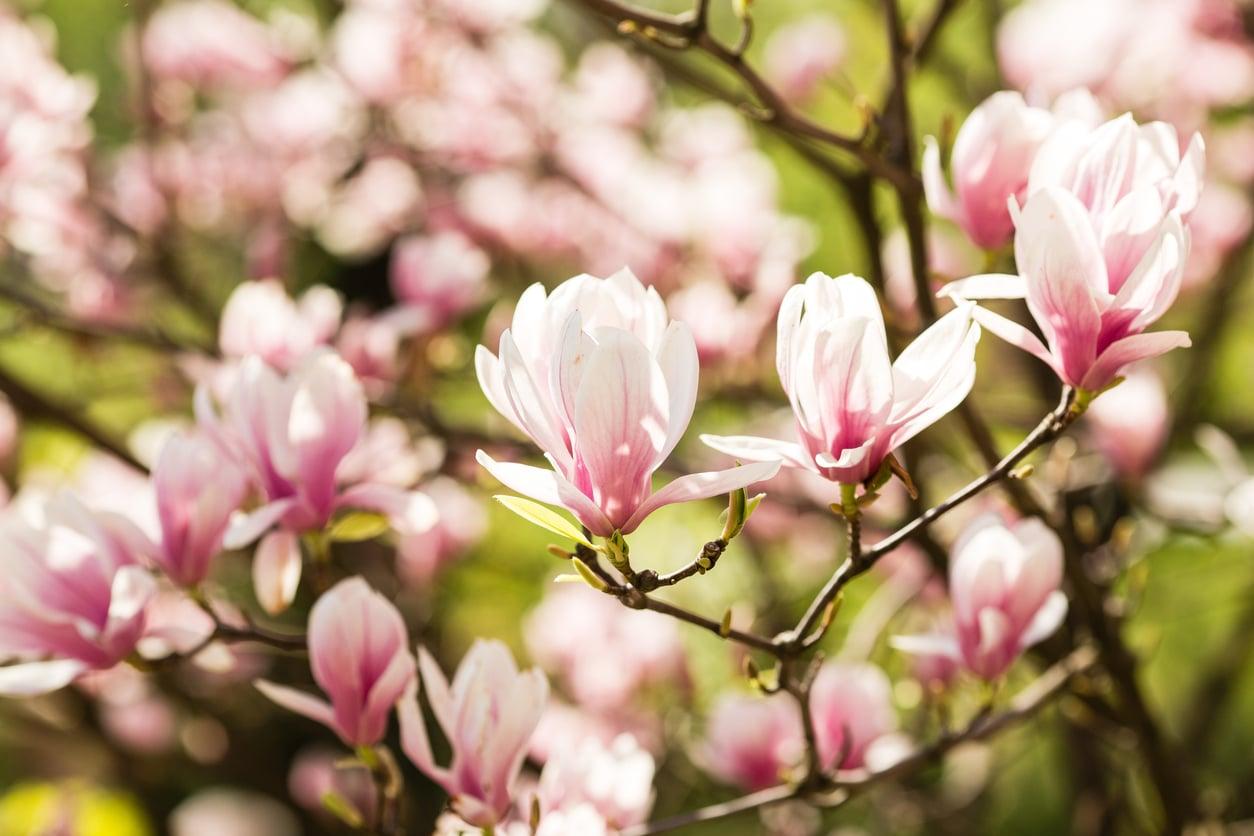 magnolia fleur rose