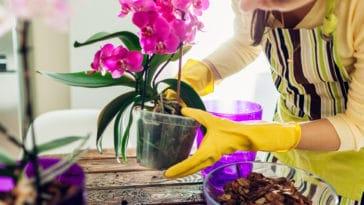 orchidée rempoter jardiner intérieur