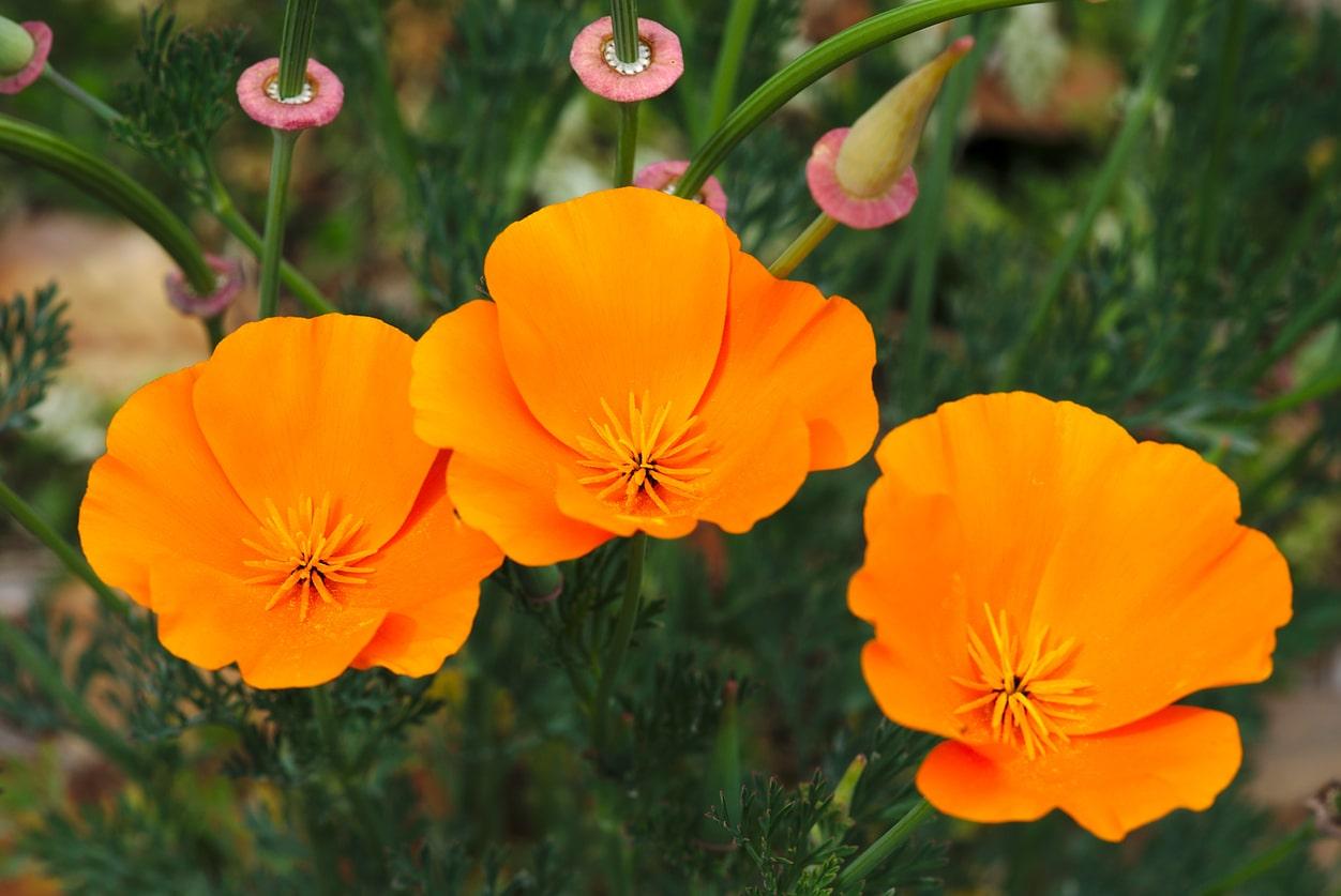 pavot de Californie orange