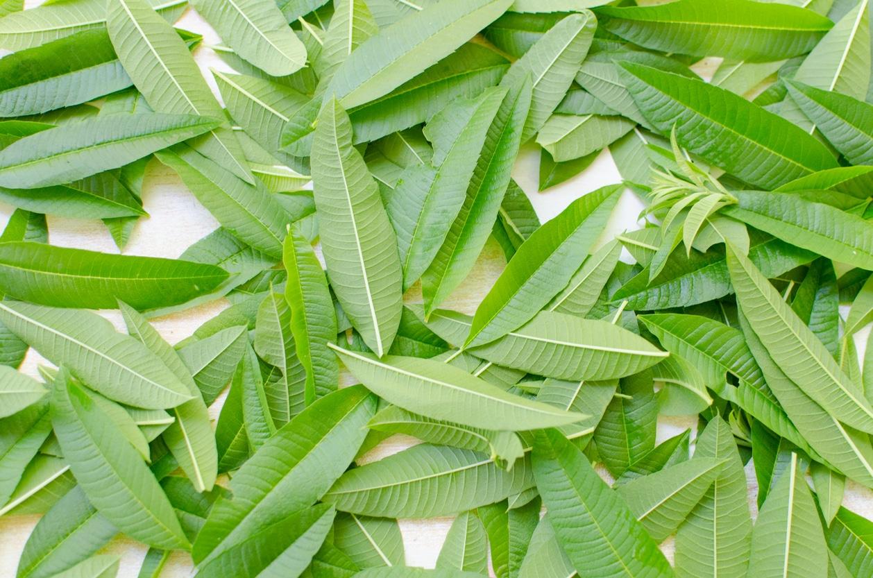 verveine citronnelle Aloysia triphylla feuilles