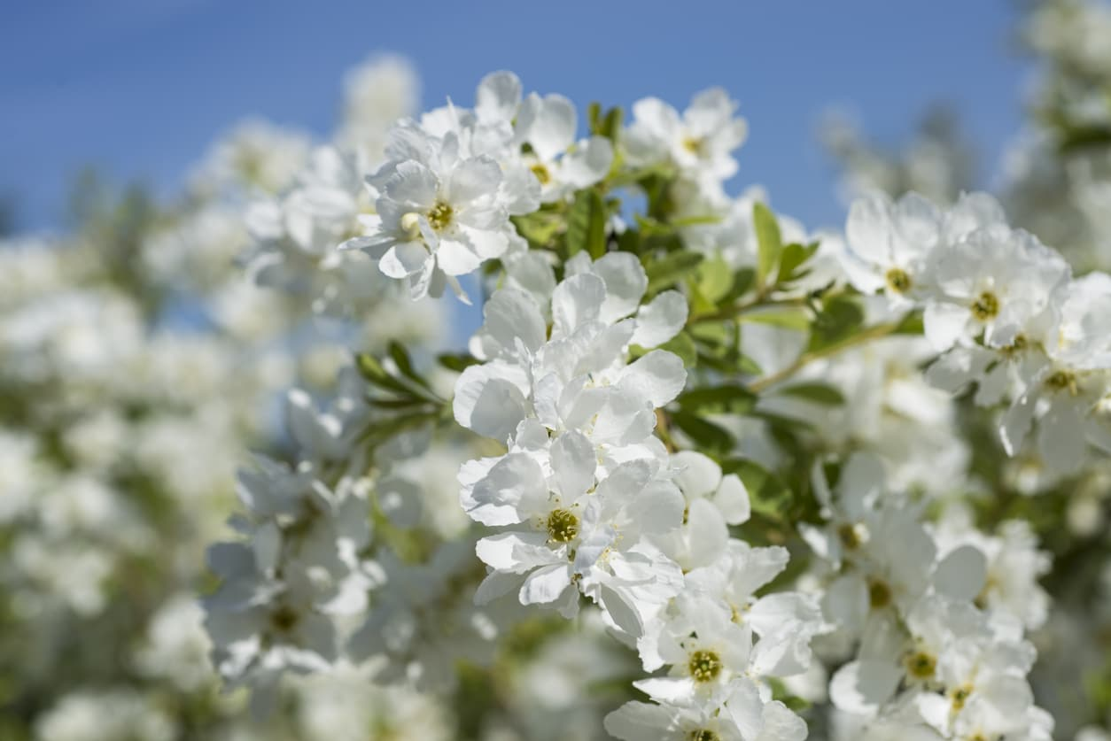 arbre aux perles Exochorda x macrantha 'The Bride'