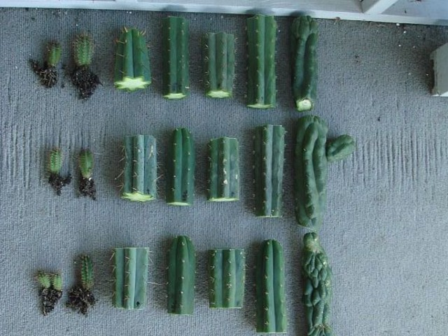 bouture cactus segment