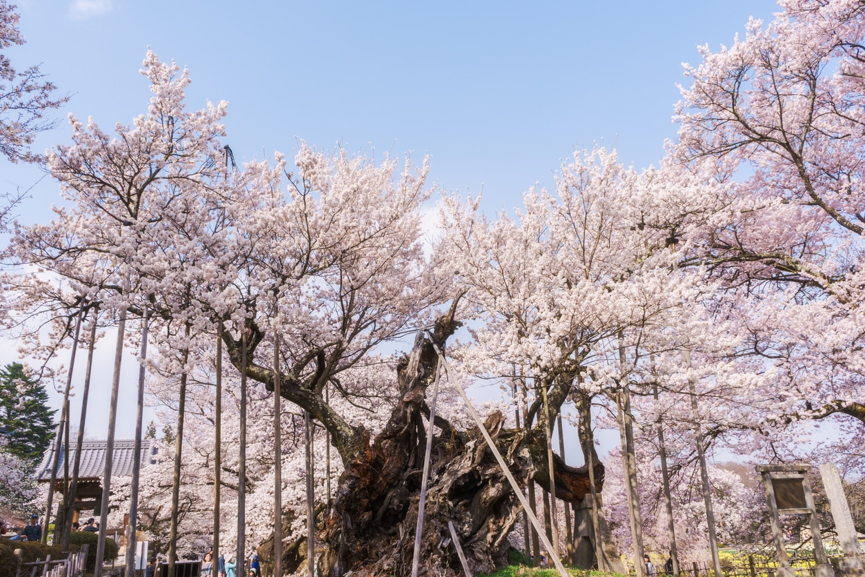 cerisier Yamataka