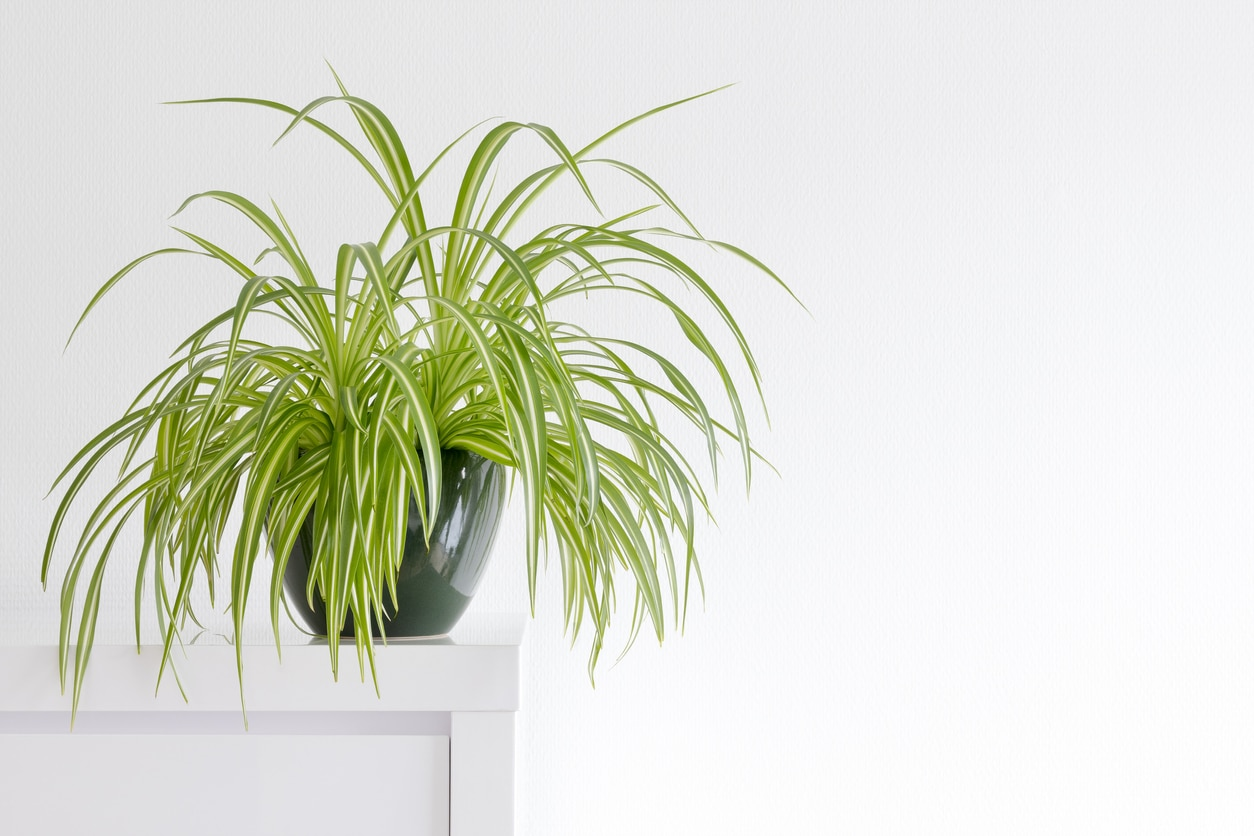 plante araignée chlorophytum