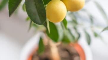 citronnier agrume pot