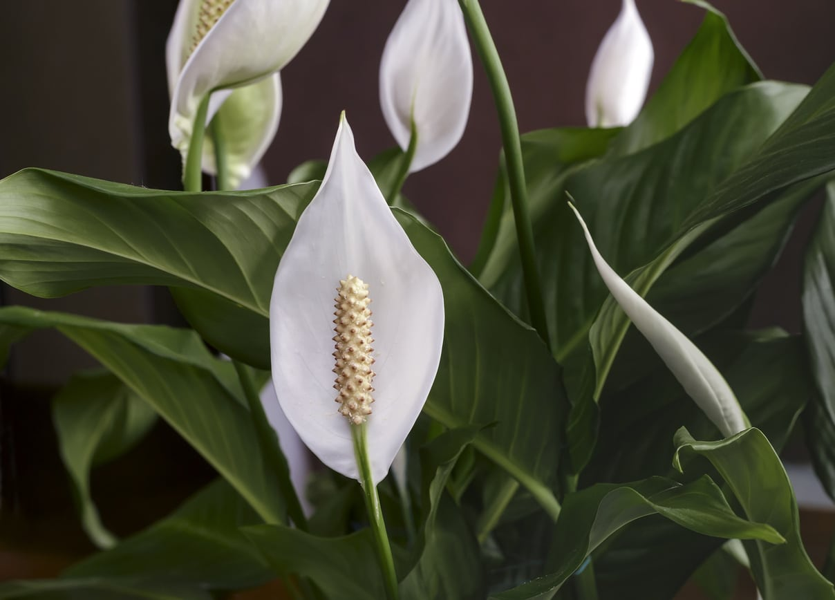 Spathiphyllum moon flower