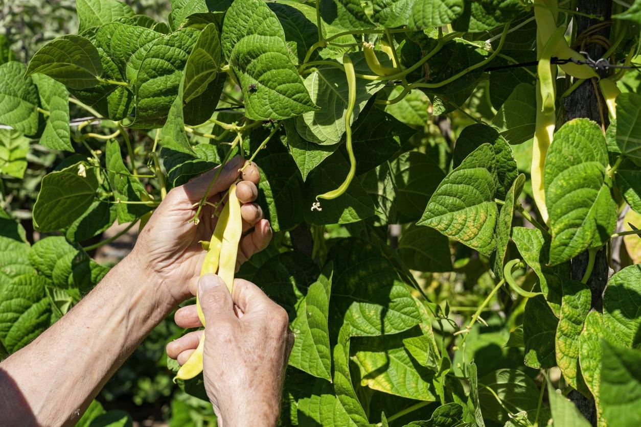 haricots verts plant