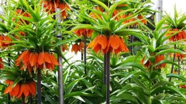 fritillaires Nord planter