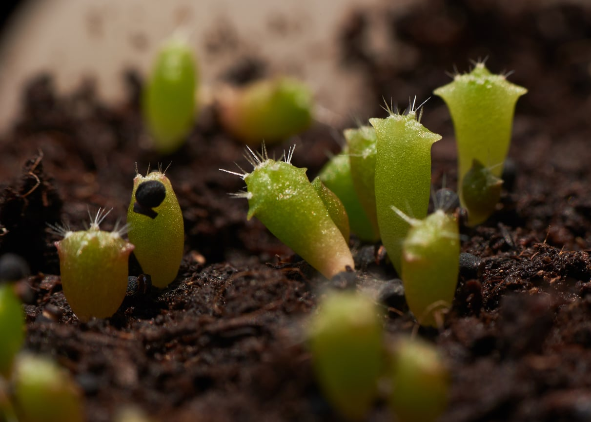 bouture succulente