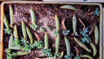 bouture succulente cactus