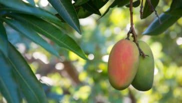 mangue manguier arbre fruitier