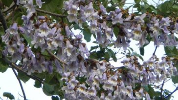 paulownia feuilles violettes