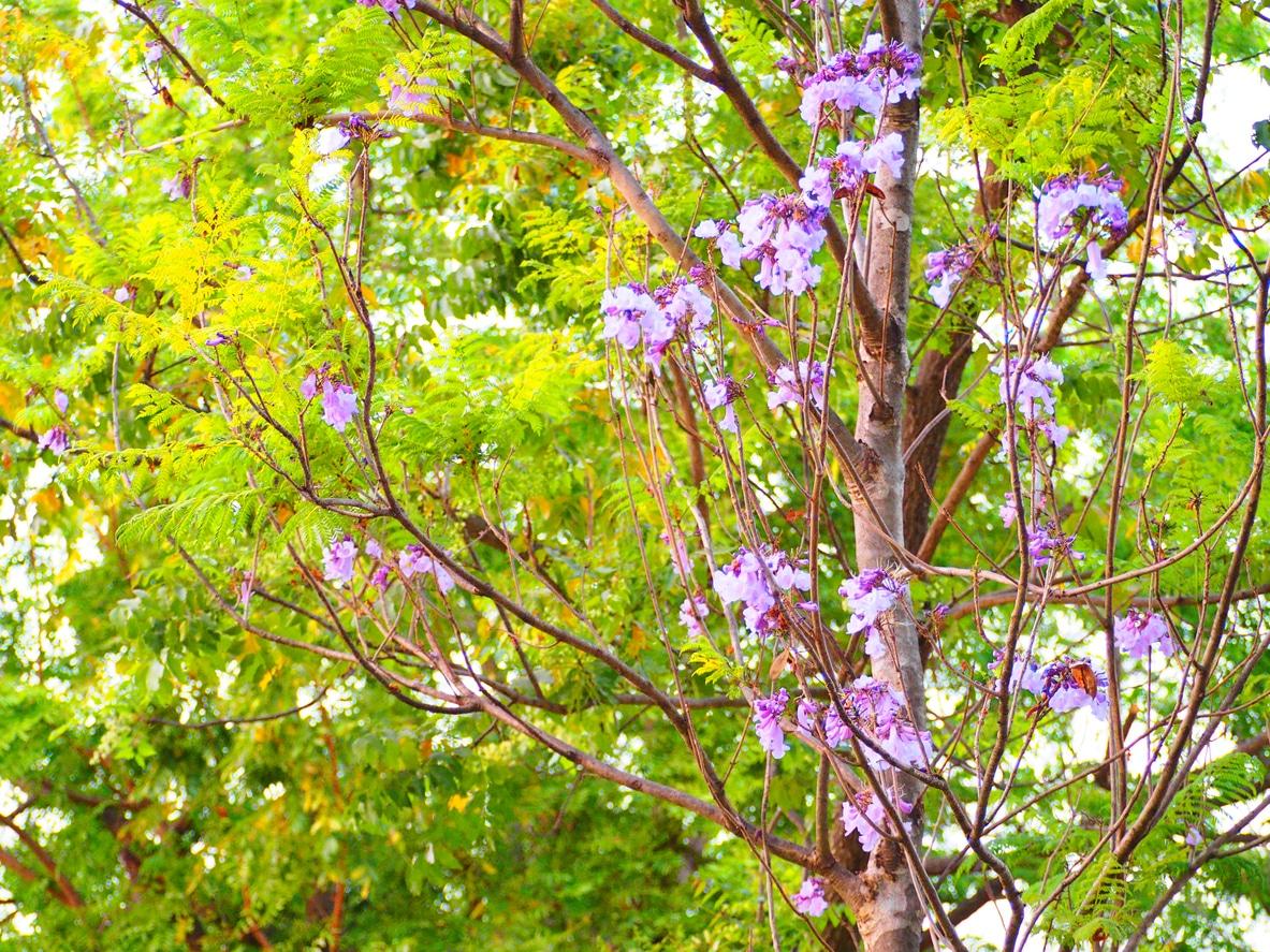 paulownia purple leaves