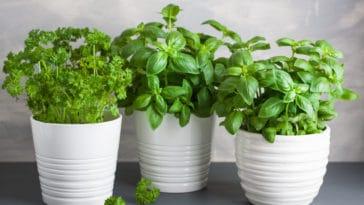plantes couverture