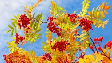 sorbier des oiseleurs automne