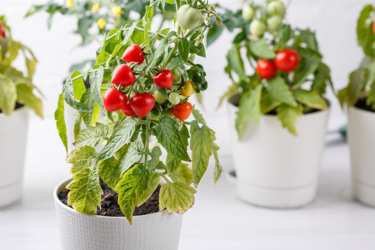tomate pot