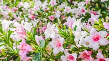 weigela fleurs roses