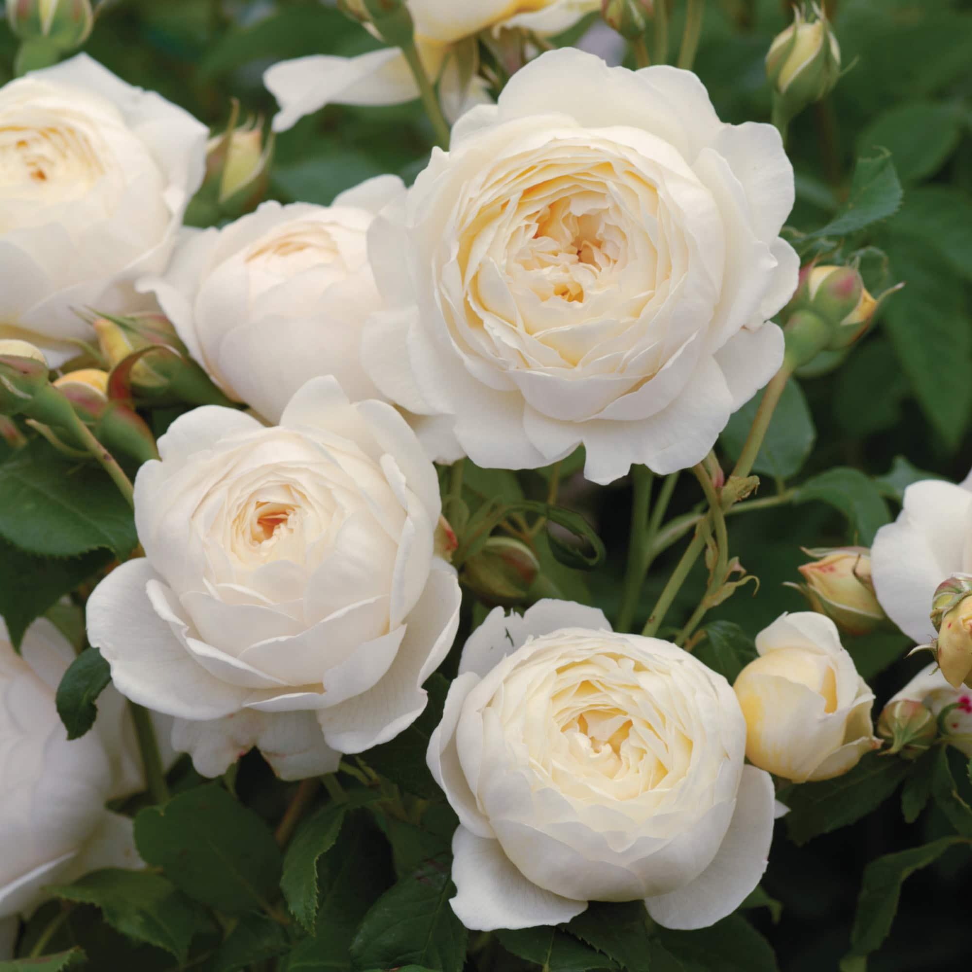 Claire austin rosier