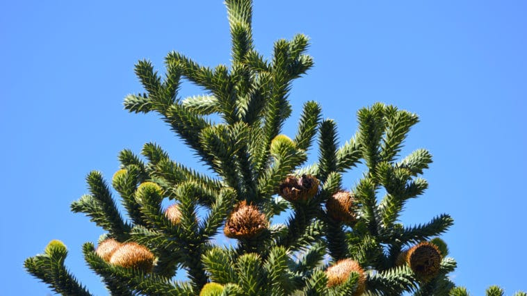 Araucaria du chili arbre
